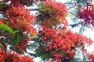 Chùm ảnh: Hoa phượng nhuộm đỏ bầu trời Thủ đô