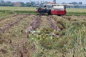 Tá hỏa phát hiện thi thể đang phân hủy mạnh dưới ruộng lúa đang gặt