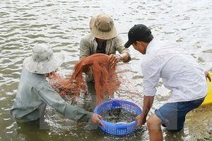 Giá tôm ở Trà Vinh giảm mạnh