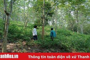 Hướng đi nào cho cây cao su ở huyện Như Xuân