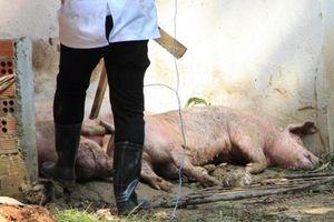 Bình Dương ra thông báo khẩn về dịch tả lợn châu Phi