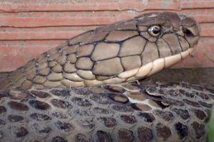 Giữ bí mật nơi thả cặp rắn hổ mang chúa ở An Giang