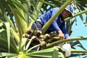 Độc đáo: Trèo cây lấy nước 'trên trời' nấu thành đặc sản ở An Giang