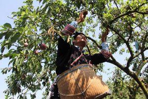 Sôi động Ngày hội hái quả trên Cao nguyên Mộc Châu