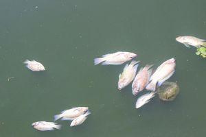 Quảng Nam: Cá chết bốc mùi hôi thối nổi đầy hồ điều hòa Nguyễn Du