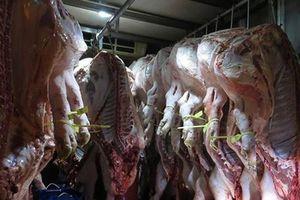 Điều tra vụ tàng trữ thịt nhiễm dịch tả heo châu Phi