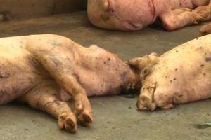 Sóc Trăng: Xuất hiện ổ dịch tả lợn Châu Phi