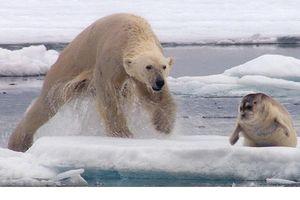 Màn săn phục kích và săn hải cẩu của gấu Bắc Cực