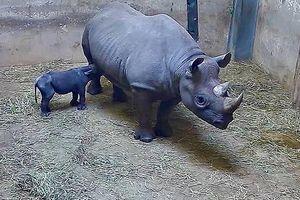 Tê giác đen có nguy cơ tuyệt chủng vừa bất ngờ... sinh con