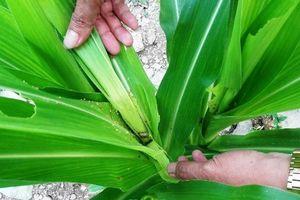 Hơn 3.300 ha ngô ở Điện Biên bị sâu keo mùa thu phá hoại