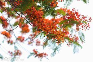 Hoa phượng nở đỏ rực Thủ đô báo hiệu mùa hè về