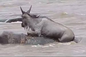 Bị cá sấu lôi xuống nước, linh dương vùng vẫy thoát chết ngoạn mục
