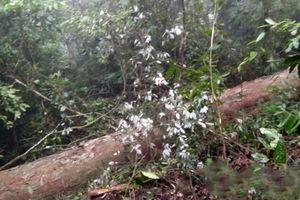 Lào Cai: Đốn hạ gỗ Nghiến trên 100 tuổi, 2 đối tượng bị bắt giữ