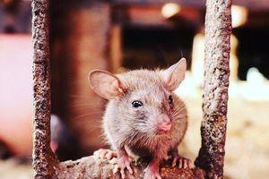 Đền thờ 25.000 con chuột ở Ấn Độ có gì đặc biệt?