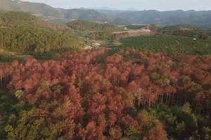 Vụ hơn 10ha rừng thông bị chết do đầu độc: Tạm giữ 4 đối tượng