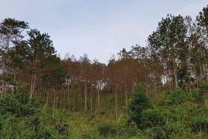 Lâm Đồng: Bắt 3 đối tượng liên quan đến vụ đầu độc rừng thông quy mô lớn