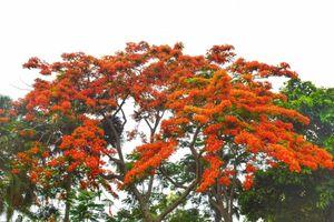 Hoa phượng đỏ rực rỡ khắp xứ Huế mộng mơ