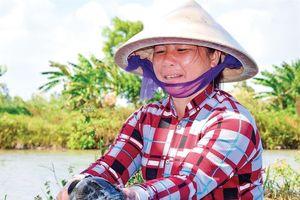 Kiên trì nuôi loài cá bống 'khủng', cứ bán 1 con thu nửa triệu bạc
