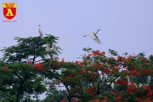 Ngắm đảo cò Hưng Yên mùa phượng vỹ