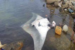 Ngư dân Lý Sơn lại bắt được cá đuối 'khủng' 600 kg