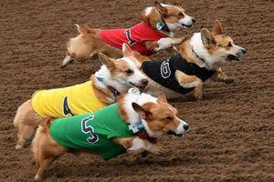 'Quá nhanh, quá đáng yêu' - cuộc đua chó corgi ở California