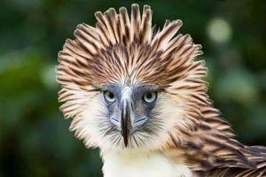 Thú vị đại bàng có đầu cực 'hổ báo', quốc điểu Philippines