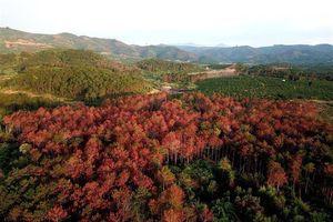 Lâm Đồng: Bắt ba nghi can đầu độc 3.000 cây thông hàng chục năm tuổi