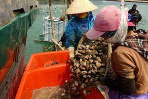 Nghề nuôi ngao hai cùi ở Vân Đồn