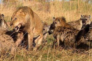 Sư tử đực bị bao vây bởi bầy linh cẩu và cái kết bất ngờ