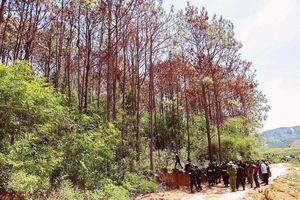 Truy bắt kẻ chủ mưu vụ đầu độc rừng thông lớn nhất Tây Nguyên