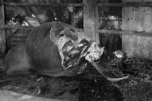 Phẫn nộ tên trộm tàn độc vào tận chuồng xẻo cặp đùi bò mẹ đang mang thai