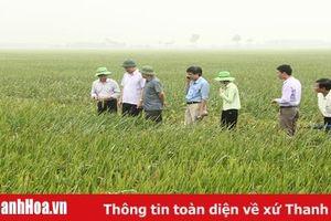 Phát triển vùng sản xuất lúa theo tiêu chuẩn VietGAP tại huyện Nông Cống
