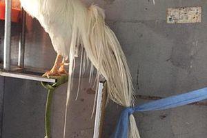 Loài gà trăm triệu đuôi dài 4m tắm bằng X-Men, 2 người phục vụ