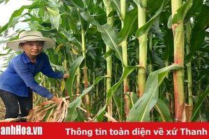 Huyện Thiệu Hóa thu hút 15 doanh nghiệp liên kết sản xuất và bao tiêu sản phẩm nông nghiệp