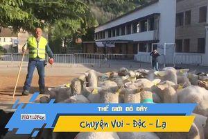 Lạ lùng bầy cừu đi học tiểu học