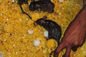 Độc đáo đền thờ hơn 25.000 con chuột được cung phụng như 'Ông hoàng'