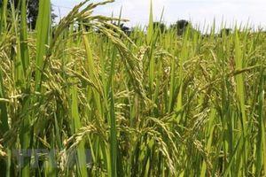 ThaiBinh Seed khảo nghiệm 10 giống lúa triển vọng