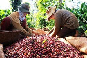 Giá cà phê Việt Nam xếp hạng ... bét tại Hàn Quốc