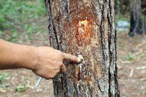 Khởi tố kẻ chủ mưu đầu độc hơn 10 ha rừng thông