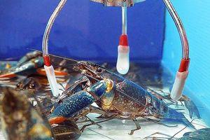 Máy gắp tôm hùm hút thực khách yêu hải sản ở Đài Loan