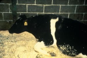 Phát hiện 'bò điên', Brazil tạm dừng xuất khẩu thịt bò sang Trung Quốc