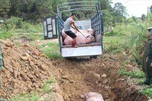 Tiêu hủy hơn 1 tấn sản phẩm từ heo nhiễm dịch tả lợn Châu Phi