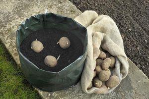 Không có vườn nhưng bạn vẫn có thể trồng khoai tây bằng cách này đấy