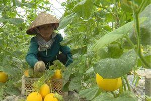 Phú Thọ: Trồng vườn dưa 'Nữ hoàng' vàng ruộm, 75 ngày thu lãi trăm triệu