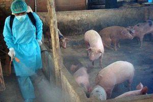 Công điện của Thủ tướng: Huy động cả hệ thống chính trị đối phó dịch tả lợn Châu Phi
