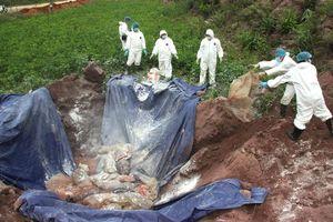 Hà Nội tiêu hủy hơn 16% tổng đàn lợn vì bệnh Dịch tả lợn châu Phi