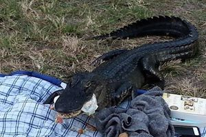 Cá sấu 'ham ăn' phá tan buổi dã ngoại của cặp tình nhân