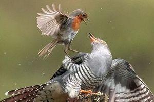 Tính đẻ trộm, chim tu hú bị đánh tơi tả