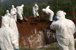 Phát hiện ổ dịch tả lợn châu Phi đầu tiên ở Bình Định, Quảng Ngãi