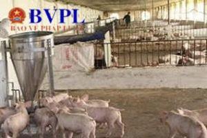 Ổ dịch tả lợn châu Phi thứ 3 tấn công Đà Nẵng
